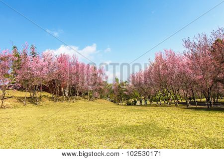 Wild Himalayan Cherry Flower (prunus Cerasoides)  .with Sheep