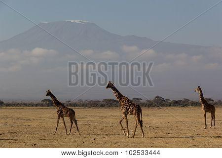 Giraffe at Mt. Kilimanjaro
