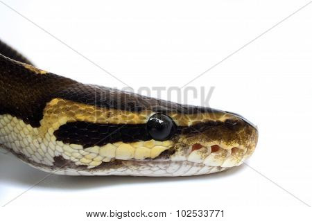 Snake Head Ball Python Head On White Background