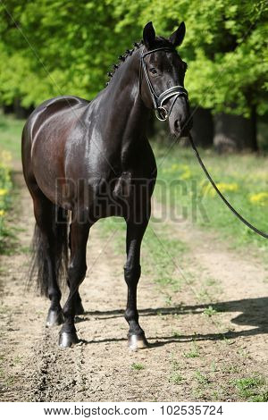 Nice Black Dutch Warmblood With Bridle