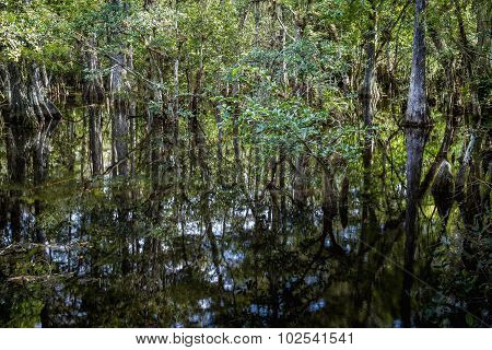 Cypress Trees Swamp
