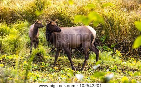 Cow and young elk in meadow
