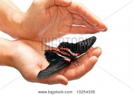 Beautiful Black And Red Butterfly In Hands