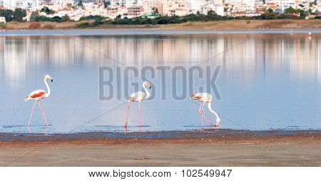 Group Of Flamingo Birds Walking On A Lake