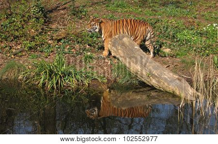 Tiger reflecting in the water