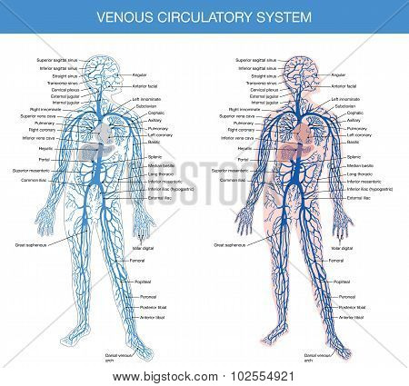 medical description of the venous system of blood circulation