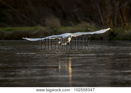 Mute swans Cygnus olor flying across pond