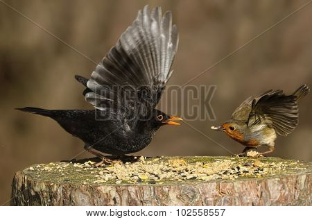 Robin and blackbird on a tree stump feeding, about to fly
