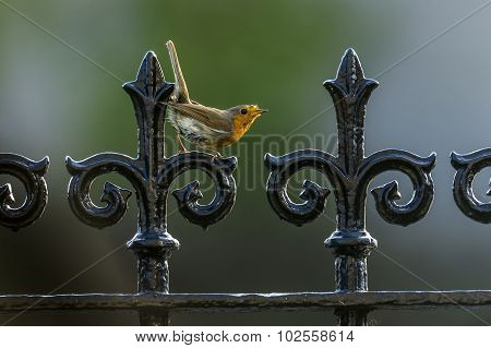 Robin, redbreast, perched on black railings displaying