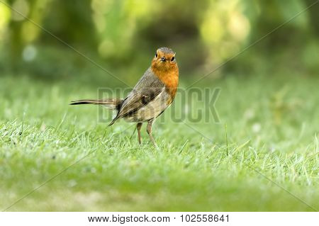 Robin, redbreast, standing on the grass in the garden