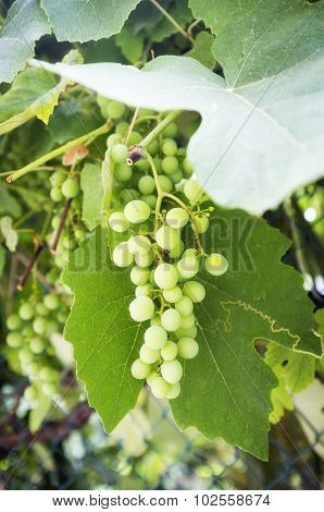 Bunch of unripe grapes. Color image