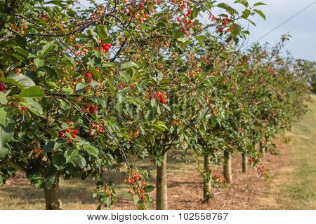 Orchard Of Red And Yellow Of Cherry Trees