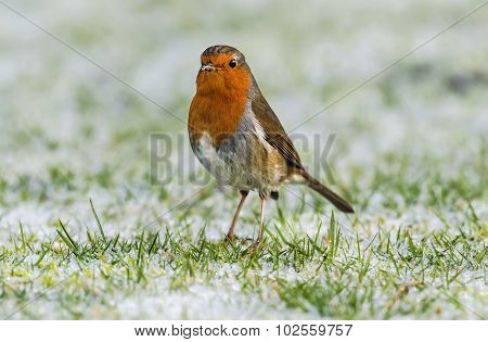 Robin, redbreast, standing on frozen grass, looking for food, close up