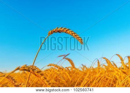 wheat ear on field, sunset time