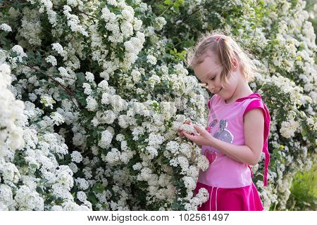 Little Girl With Pigtails Admires Bush With White Flowers