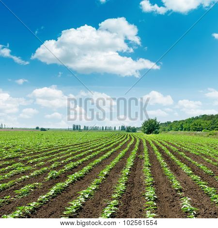 spring field with little sunflower under clouds in blue sky