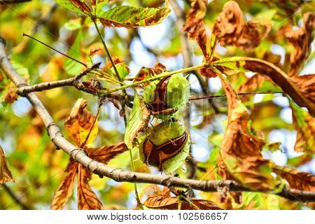 Ajar Chestnuts Growing On The Tree