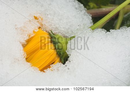Snow Covered Chrysanthemum