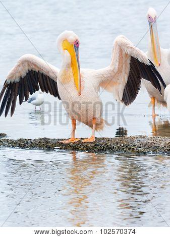 Pelicans, Lake Nakuru