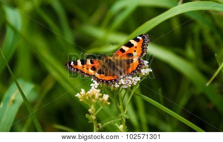 Red Admiral butterfly on grass