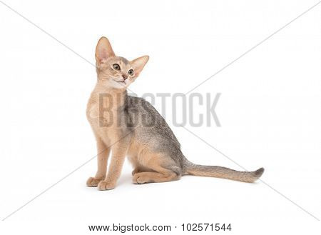 Abyssinian kitten on white background