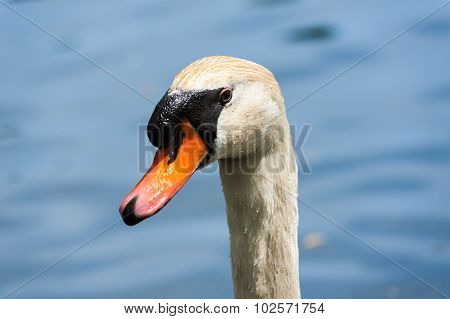Close-up Of Wet Mute Swan Head On Blurred Background