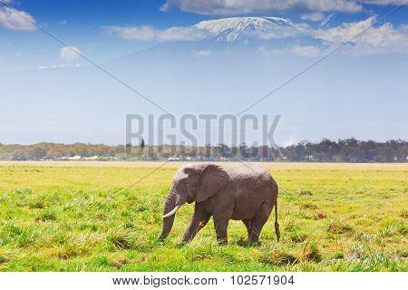 Elephant In Amboseli