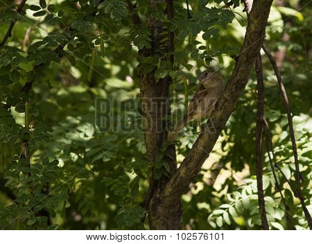 Sparrow Sitting On A Branch Of A Tree