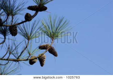 Branch Of Pine Tree