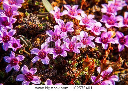 Purple Saxifrage Blossoming
