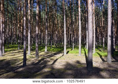 Pine forest on a sunny summer day