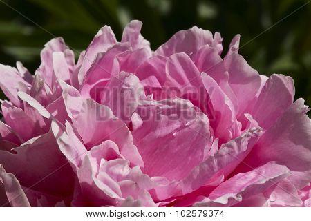 Pink Peone Closeup
