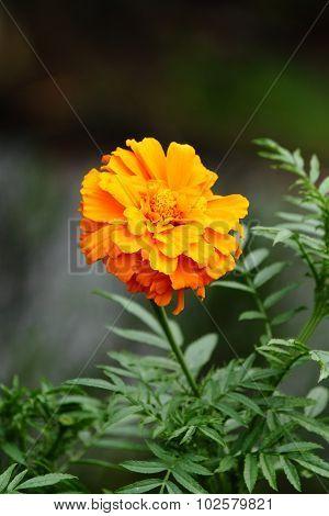 Close up Marigold flower