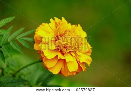 Marigold and blurry backgrond
