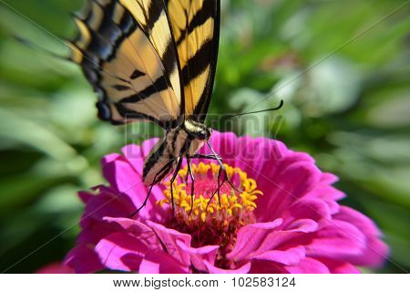 Butterfly on a Magenta Flower Sipping Nectar