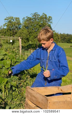 Farm boy picking the beans in vegetable garden