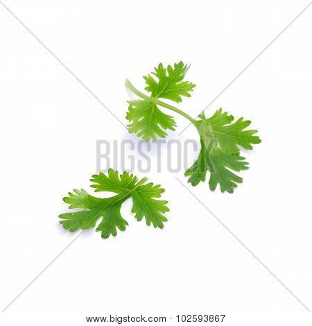 Coriander Sprig Isolated On White Background (vegetable)