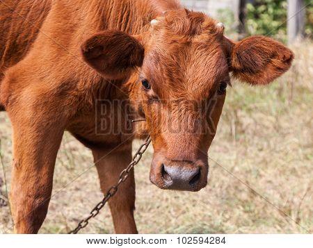 Calf On A Leash Close-up