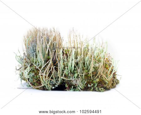 Natural Moss Decoration On White Background