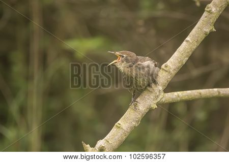 A hungry baby Starling Sturnus vulgaris perched on a branch squawking