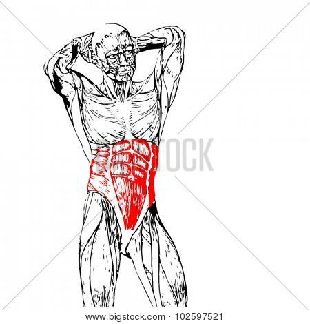 Vector concept or conceptual 3D chest human anatomy or anatomical and muscle isolated on white background