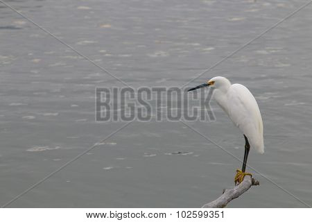 The Snowy Egret On The Water At Malibu Beach In August
