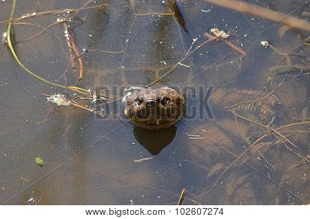 Turtle Peaking Out Of The Water