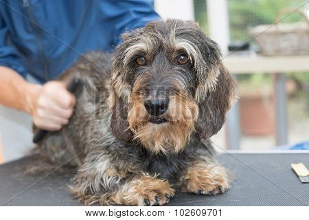 Trimming The Cute Dachshund