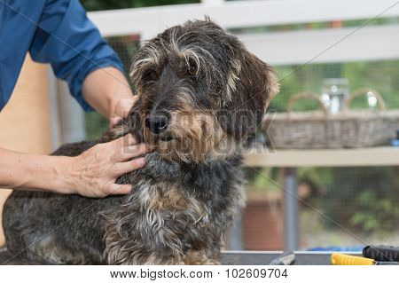The Trimming Of The Dachshund