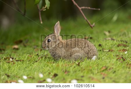 Bunny Rabbit juvenile sitting on the grass