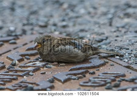 Sparrow Passer domesticus lying on the road