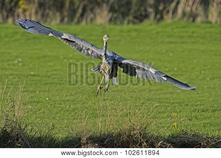 Heron ardea cinerea flying from the grass, close up