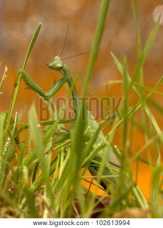 green mantis in green grass after rain on sunset sky background