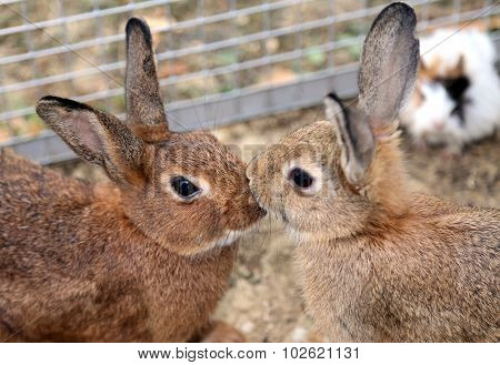 Couple Of Young Rabbits While They Give You A Kiss